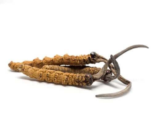 Cordyceps sinensis Health and Longevity